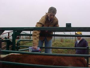 Students working cattle in animal science lab