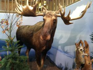 Moose at LL Bean in Maine.