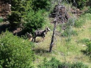 Big Horn Sheep at Yellowstone