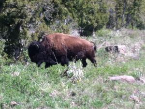 Bison at Yellowstone.
