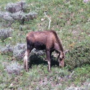 Moose at Yellowstone.