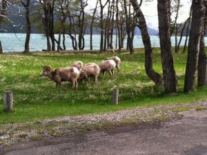 Big Horn Sheep in Canada.