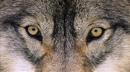lobo eyes
