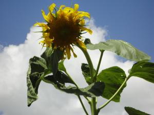 Summer sunflower in front of CTE building over the summer! (2013)