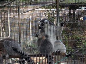 The ringtail lemurs were another favorite of the kindergarteners.