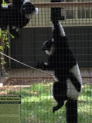 The Black and White Lemur comes from Madagascar.