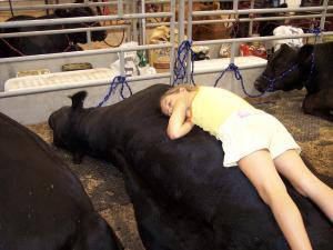 Chesnie laying on one of her show bulls