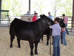 Bryce showing his heifer