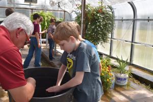 transplanting marigolds