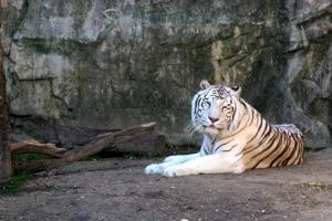 White Tiger Ft. Worth Zoo 2016