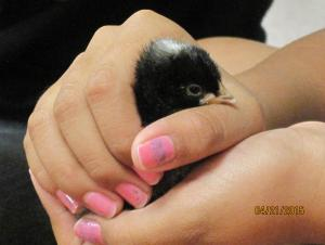 One of our precious chicks hatched 4-20-15!