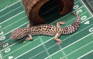 Cactus Jack (leopard gecko)