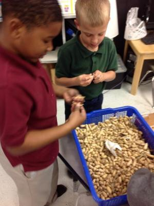 Exploring seeds for science-peanuts donated by a local farm
