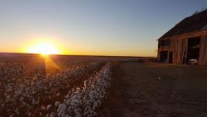 Beautiful sunset over the cotton