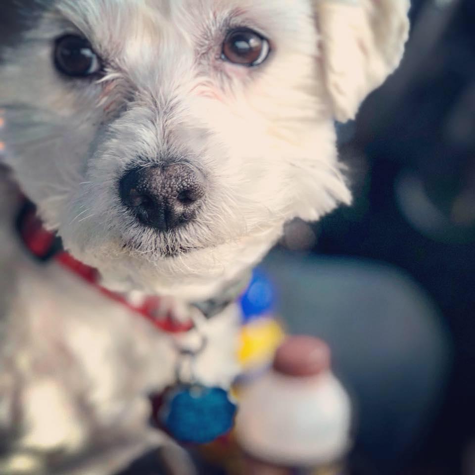 Our family dog, Tucker, is a coton de tulear.