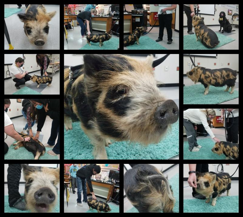 Pigs in the Classroom!