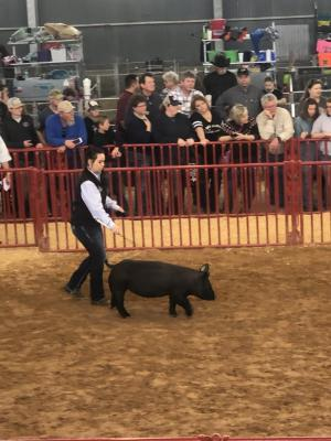 Elizabeth Arnold showing her crossbred gilt at Ft. Worth Open Gilt Show 2019