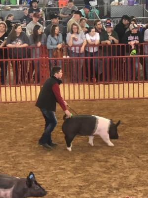 Logan Williams showing his crossbred gilt at Ft. Worth Open Gilt Show 2019