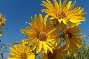 Kansas sunflowers