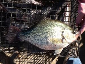 Crappie from Lake Limestone