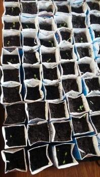 We started the seedlings in early April in our classroom.