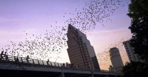 Bats Rule Austin?