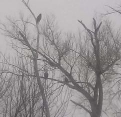 Up to 100 Bald Eagle at Lake Cheney