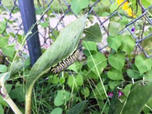 Monarch caterpillars on the milkweed in the outdoor classroom!