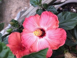 Grow Hibiscus flowers