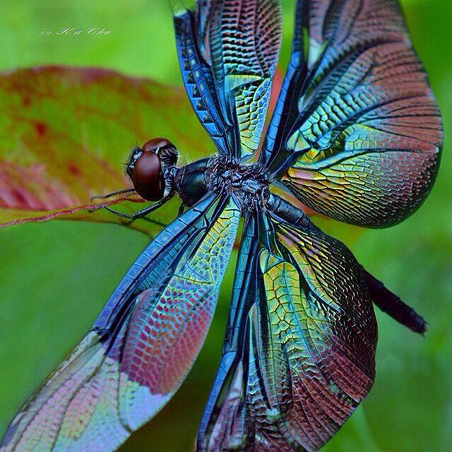Colorful Blue Dragonfly