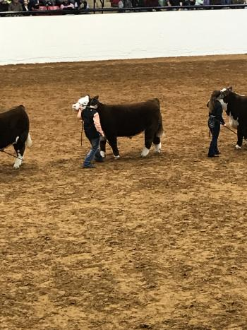 Kash Long, 7th grade Kelton student, showed his heifer Sheca.  Sheca placed 2nd out of 25 in the ORB class.  Kash placed 8th with his Polled Hereford steer Switch.  Switch also made the Fort Worth Stock Show Sale.