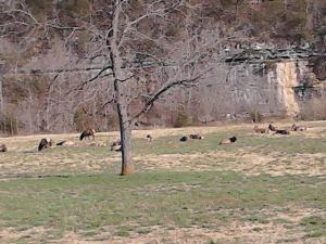 Elk in the Boxley Valley