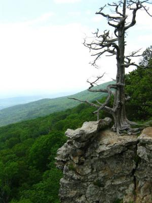 The famous tree of Mt. Magazine