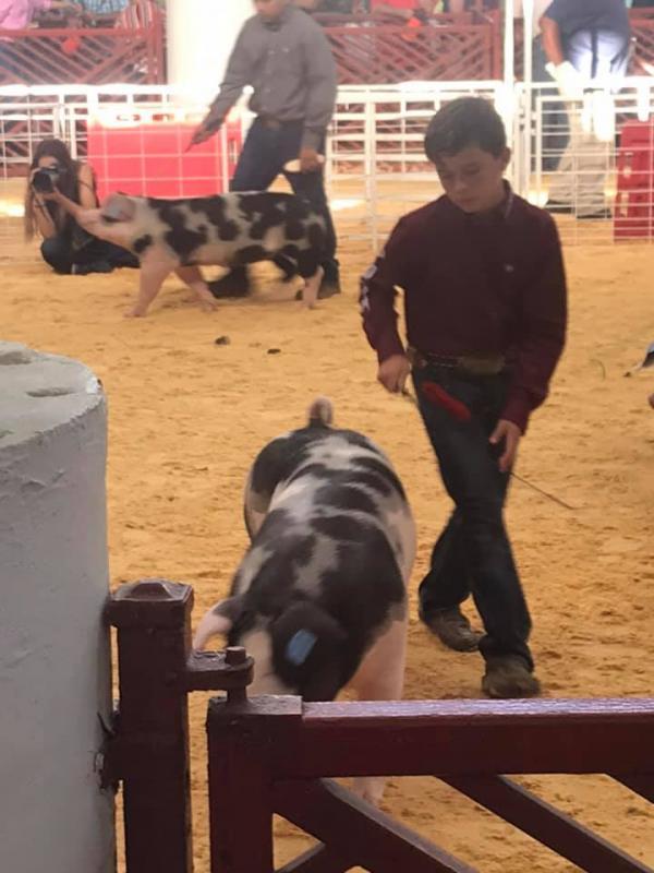 State Fair of Texas Breeding Gilts