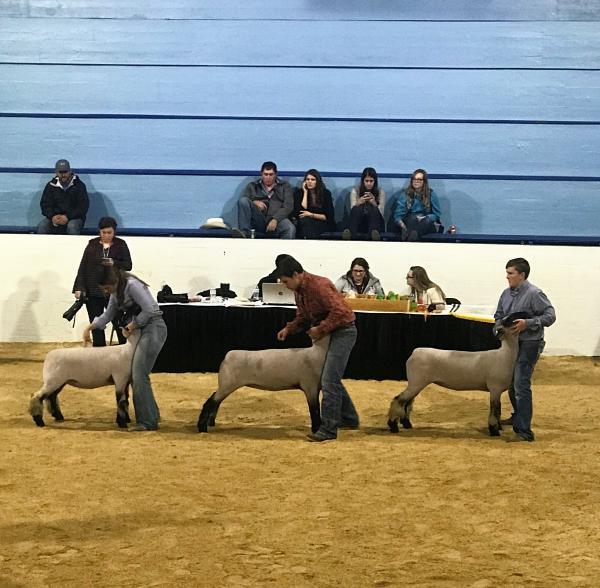 SFT Breeding Sheep Show