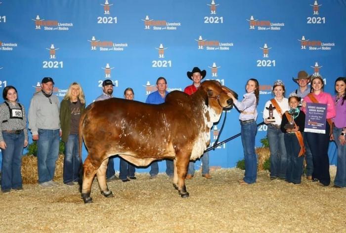 Houston Livestock Show Heifers