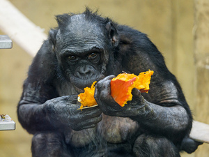 Are Chimps Better Cooks Than Humans?
