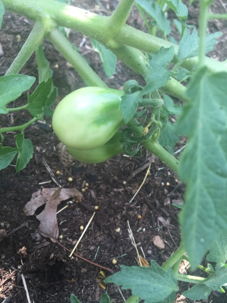 How  to grow fruitful tomato plants, from planting to picking