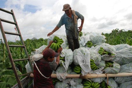 219303-el-nino-el-limon-y-el-banano-organico-entre-los-productos-mas-afectados-del-norte