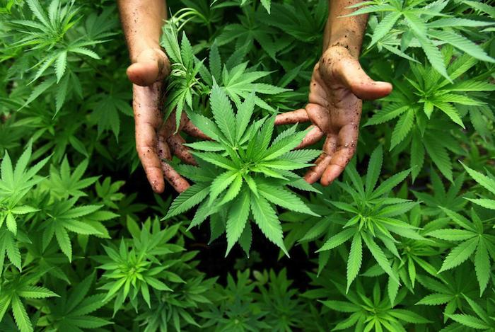 ETF de cannabis cae pero proyecciones se mantienen