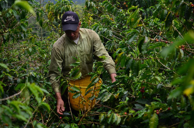 Venezolanos, los nuevos recolectores de café en el sur del Tolima