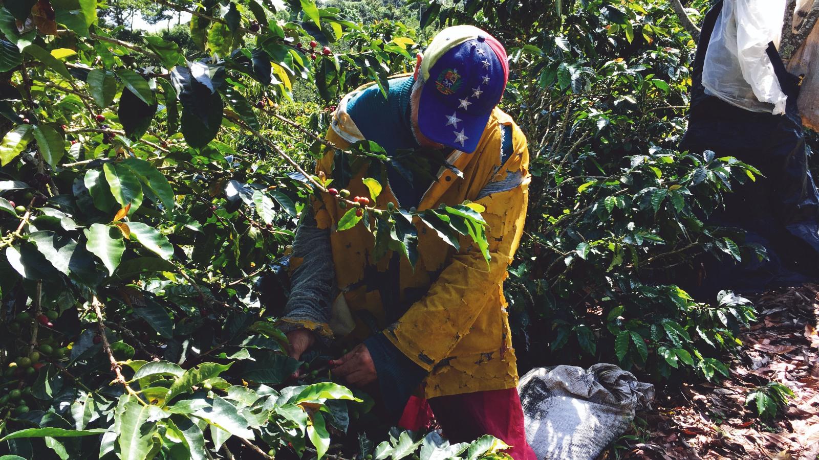 En Risaralda la migración venezolana podría salvar la cosecha de café anual