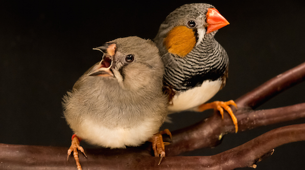 Young zebra finch learns songs from its father (right). Image courtesy of Georg Kosche