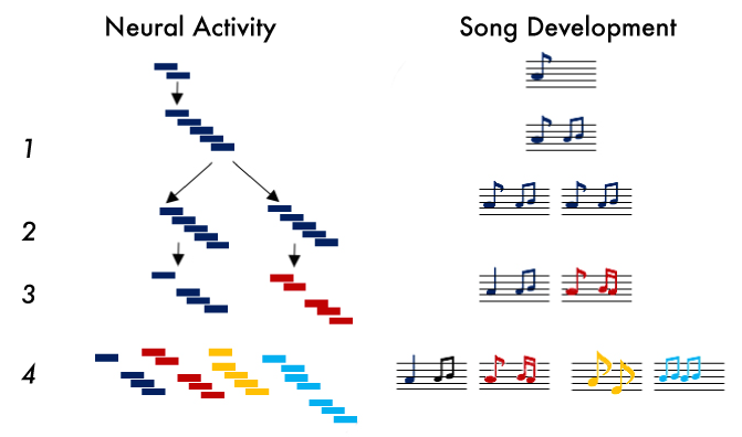 Development of neural sequences drives singing in the zebra finch. 1) In a bird first learning to sing, the neural sequence grows and eventually forms a protosyllable, the equivalent of few notes. 2) The protosyllable duplicates, a process that lays the foundation for new notes. 3) The two sequences develop and change independently, and the bird starts to sing two different syllables. 4) The duplication process repeats multiple times, until finally the bird has a complete song. Different neural sequences typically produce five to seven syllables. Credit: Daniela Vallentin and Daniel Alexander