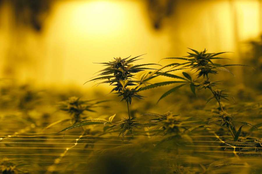 Louisiana's second medical marijuana grower releases product | GreenState