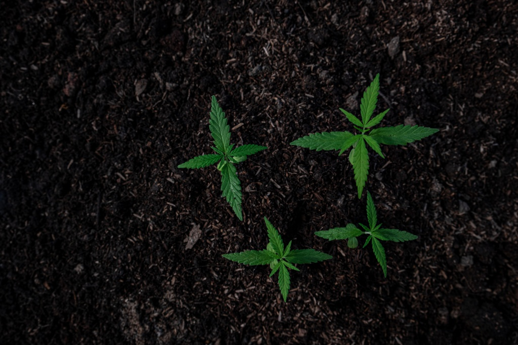 What's the Difference Between Cannabis Sativa, Indica and Ruderalis? | GreenState