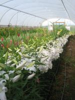 Lilies ready for harvest