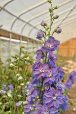 Delphinium in the high tunnel