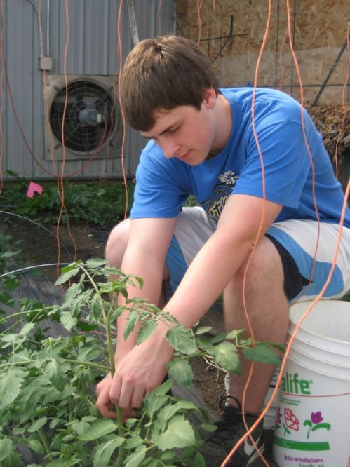 Calvin pruning tomatoes