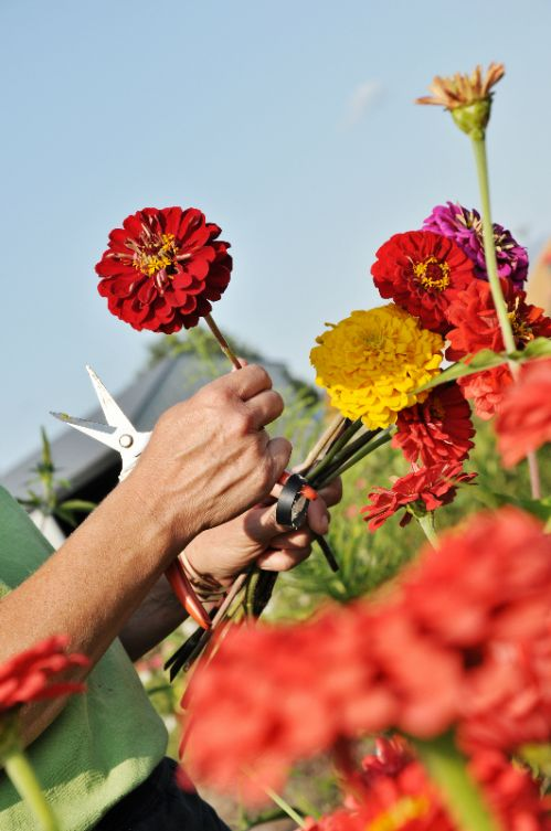 Cutting zinnias